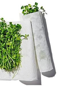 Cilantro in Damp Paper Towel